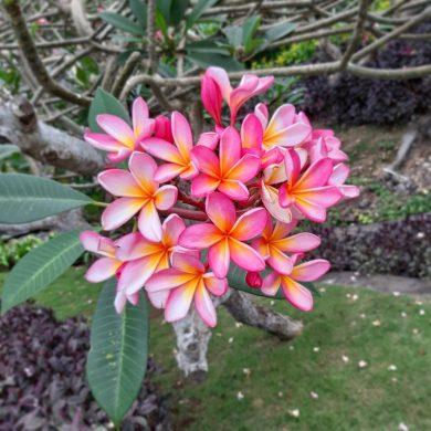 FRANGIPANI – magický kvet z Bali